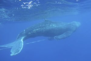 Young humpback whale freed from fishing gear off Hawaii