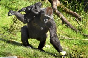 Surrogate bonds with baby gorilla rejected by mother