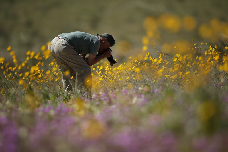 A man takes pictures of wildflowers in bloom near Borrego Springs, Calif., March 6, 2019. (AP Photo/Gregory Bull)