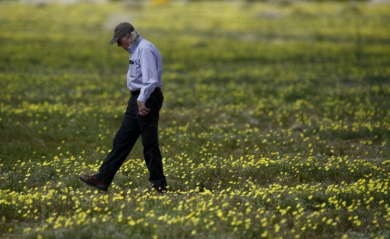 A man walks among wildflowers in bloom near Borrego Springs, Calif., March 6, 2019. (AP Photo/Gregory Bull)