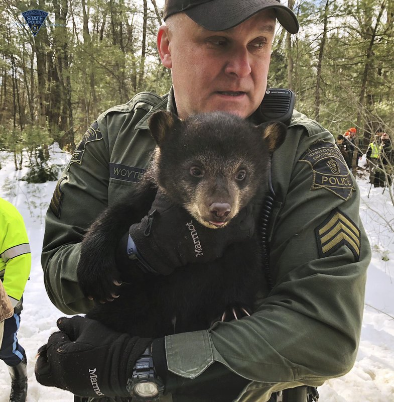 In this photo released Thursday, March 14, 2019, by the Massachusetts State Police and Massachusetts Environmental Police, an officer carries a bear cub while relocating a family of bears to a nearby forest from a den they had set up in the median of Route 2 in Templeton, Mass. (Massachusetts State Police and Massachusetts Environmental Police via AP)
