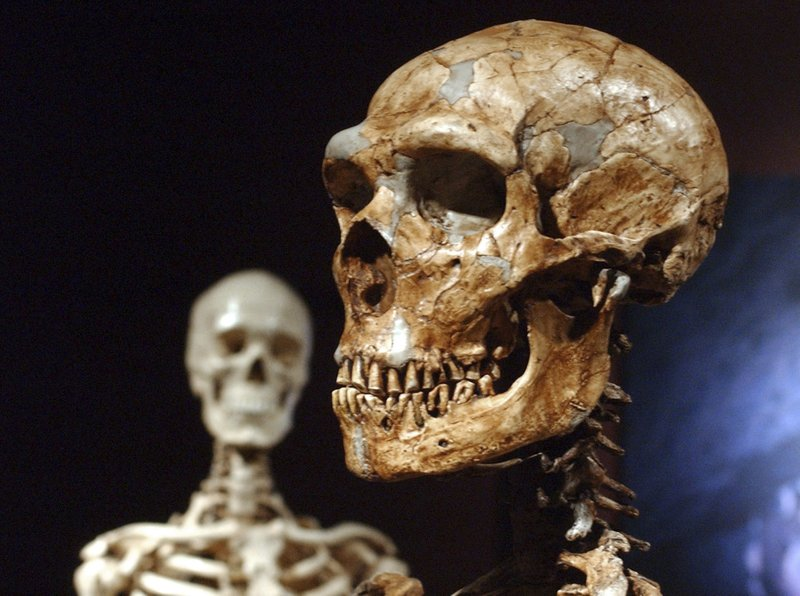 FILE - This Jan. 8, 2003 file photo shows a reconstructed Neanderthal skeleton, right, and a modern human version of a skeleton, left, on display at the Museum of Natural History in New York. (AP Photo/Frank Franklin II, File)
