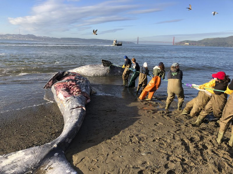 In this photo taken Tuesday, March 12, 2019, provided by The Marine Mammal Center, experts from the center and its partners at the California Academy of Sciences attempt to pull a gray whale carcass from the edge of the surf at Angel Island State Park, Calif. (Cara Field/The Marine Mammal Center via AP)