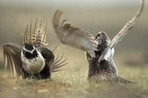 Update: US eases land rules protecting sage grouse
