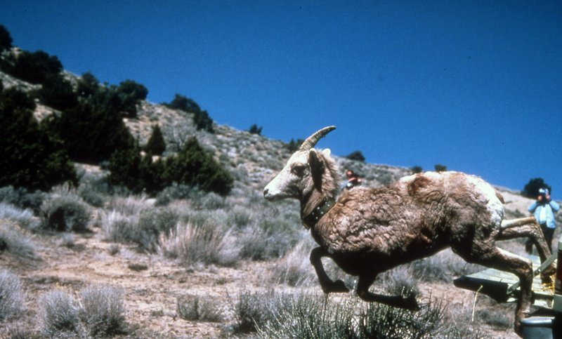 FILE - In a 2003 file photo, a desert bighorn sheep is released in the Granite Mountains of northern Nevada near the Oregon line. (Kim Toulouse/Nevada Department of Wildlife/The Reno Gazette-Journal via AP, File)