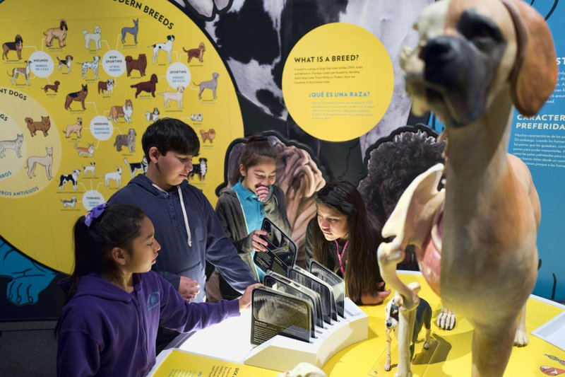 In this Tuesday, March 12, 2019 photo students from the Theodore Alexander Science Center School check an interactive display of the internal organs of different dogs at the California Science Center in Los Angeles. (AP Photo/Richard Vogel)