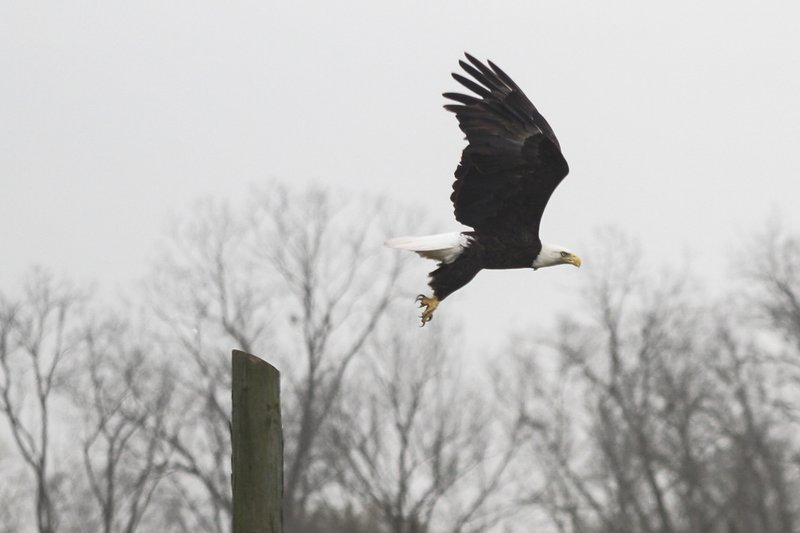 In this Thursday, March 14, 2019 photo, a Bald Eagle takes off from its perch near Eagle Lake, Miss., in Warren County. (Courtland Wells/The Vicksburg Post via AP)