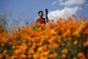 Tens of thousands converge on California 'poppy apocalypse'