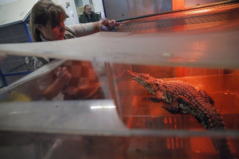 In this Wednesday, March 6, 2019 photo, veterinarian Natalya Bondarenko feeds crocodile Gena in the Veles rehabilitation shelter for wild animals in Rappolovo village outside St. (AP Photo/Dmitri Lovetsky)