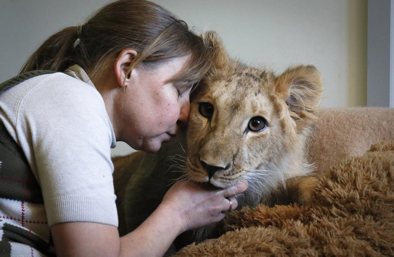 In this Wednesday, March 6, 2019 photo, Veles Center's veterinarian Natalya Bondarenko interacts with eight month old lion cub Simona in the Veles rehabilitation shelter for wild animals in Rappolovo village outside St. (AP Photo/Dmitri Lovetsky)