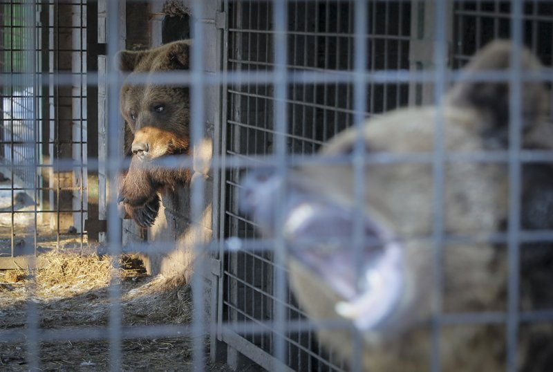 In this Wednesday, March 6, 2019 photo, bears look out from a cage at the Veles rehabilitation shelter for wild animals in Rappolovo village outside St. (AP Photo/Dmitri Lovetsky)