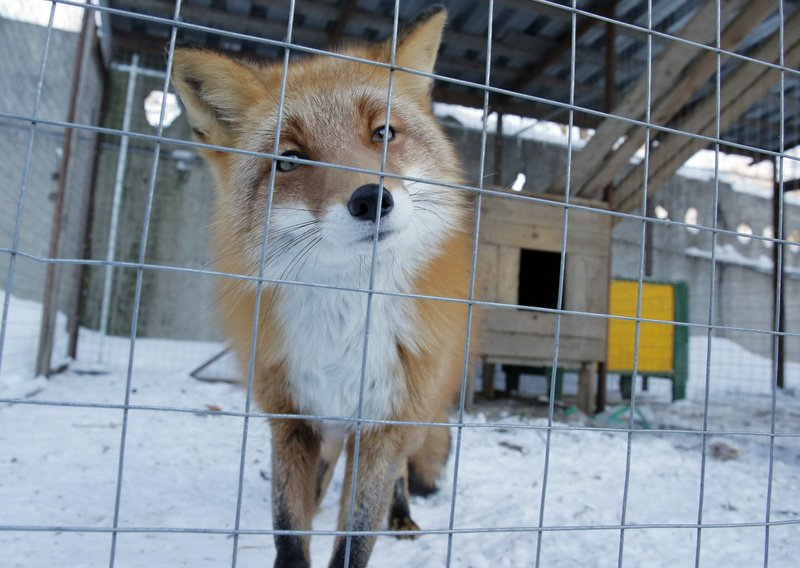 In this Wednesday, March 6, 2019 photo a fox looks out from a cage at the Veles rehabilitation shelter for wild animals in Rappolovo village, outside St. (AP Photo/Dmitri Lovetsky)