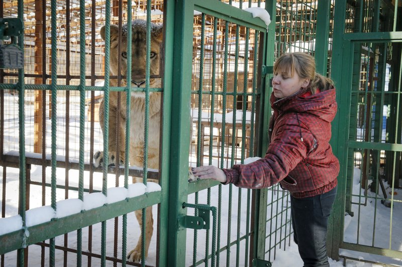 In this Wednesday, March 6, 2019 photo Veles Center's veterinarian Natalya Bondarenko communicates with lioness Elza in the Veles rehabilitation shelter for wild animals in Rappolovo village outside St. (AP Photo/Dmitri Lovetsky)