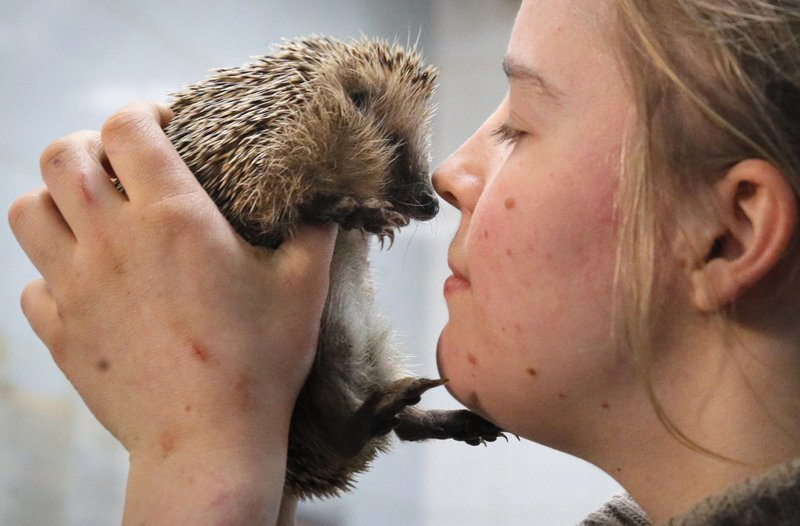 In this Wednesday, March 6, 2019 photo volunteer Yekaterina Gilchyonok holds a hedgehog in the Veles rehabilitation shelter for wild animals in Rappolovo village outside St. (AP Photo/Dmitri Lovetsky)