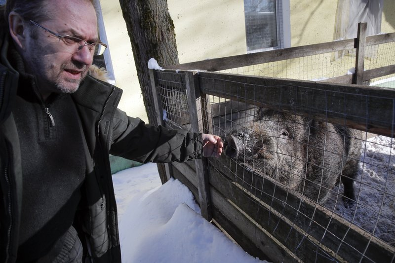 In this Wednesday, March 6, 2019 photo, Alexander Fyodorov, owner and founder of Veles Center, touches a wild boar in his Veles rehabilitation shelter for wild animals in Rappolovo village outside St. (AP Photo/Dmitri Lovetsky)