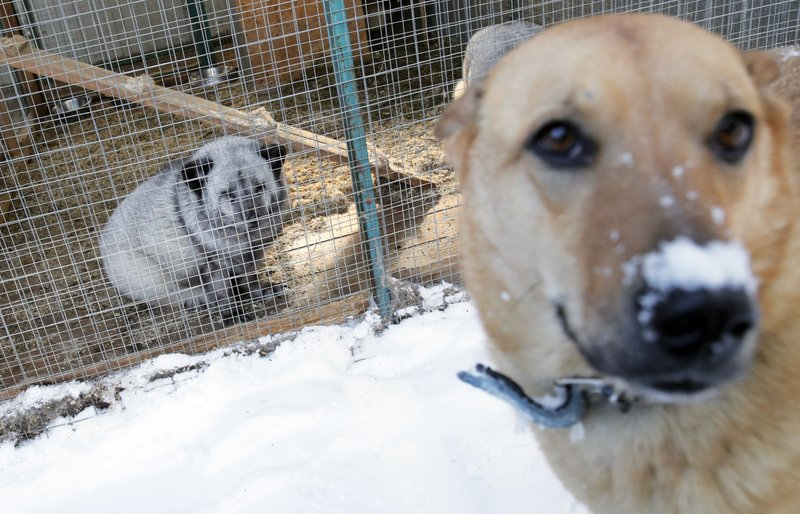 In this Wednesday, March 6, 2019 photo, an arctic fox looks out from a cage at the Veles rehabilitation shelter for wild animals in Rappolovo village outside St. (AP Photo/Dmitri Lovetsky)