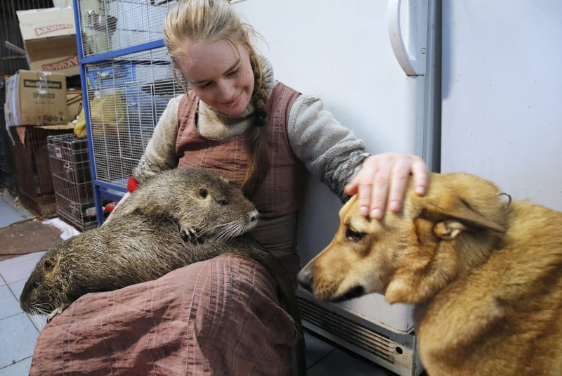 In this Wednesday, March 6, 2019 photo, volunteer Yekaterina Gilchyonok holds nutrias on her lap and strokes a dog in the Veles rehabilitation shelter for wild animals in Rappolovo village outside St. (AP Photo/Dmitri Lovetsky)