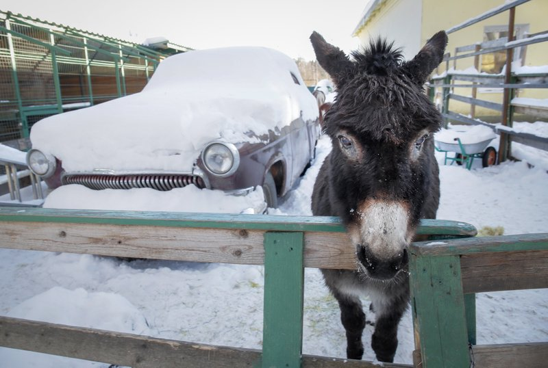 In this Wednesday, March 6, 2019 photo, a donkey looks out of a pen at the Veles rehabilitation shelter for wild animals in Rappolovo village outside St. (AP Photo/Dmitri Lovetsky)