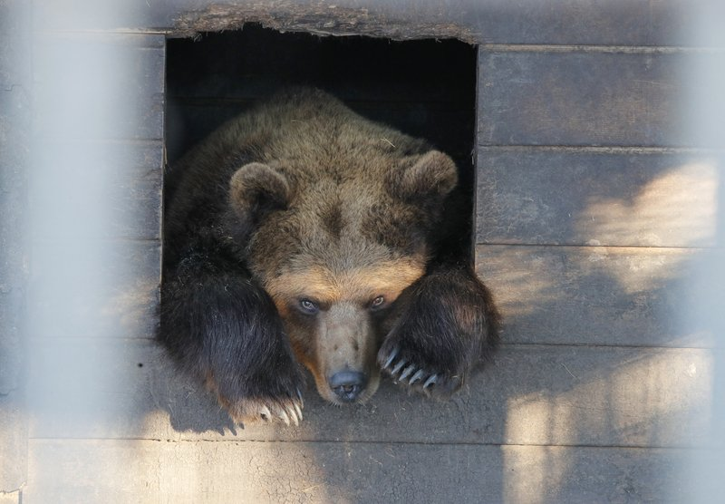 In this Wednesday, March 6, 2019 photo, a bear looks out from a cage at the Veles rehabilitation shelter for wild animals in Rappolovo village outside St. (AP Photo/Dmitri Lovetsky)