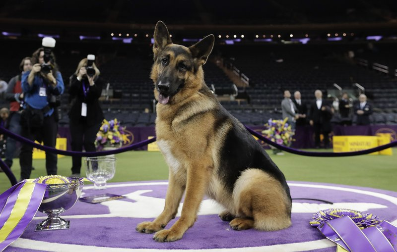 FILE - In this Feb. 15, 2017, file photo, Rumor, a German shepherd, poses for photos after winning Best in Show at the 141st Westminster Kennel Club Dog Show, in New York. (AP Photo/Julie Jacobson, File)