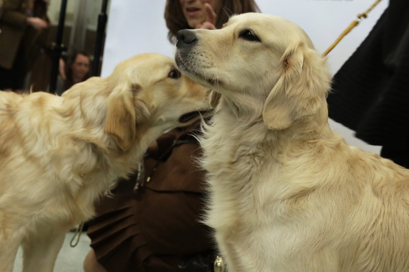 FILE - In this March 21, 2017 file photo, golden retrievers Flirt, left, and Alistair are introduced as the third ranked breed by the American Kennel Club, in New York. (AP Photo/Richard Drew)