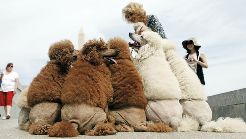 FILE - In this May 7, 2010 file photo, a group of poodles belonging to Russian poodle trainer Irina Markova take a break near the World War II Memorial in Washington. (AP Photo/Haraz N. Ghanbari, File)