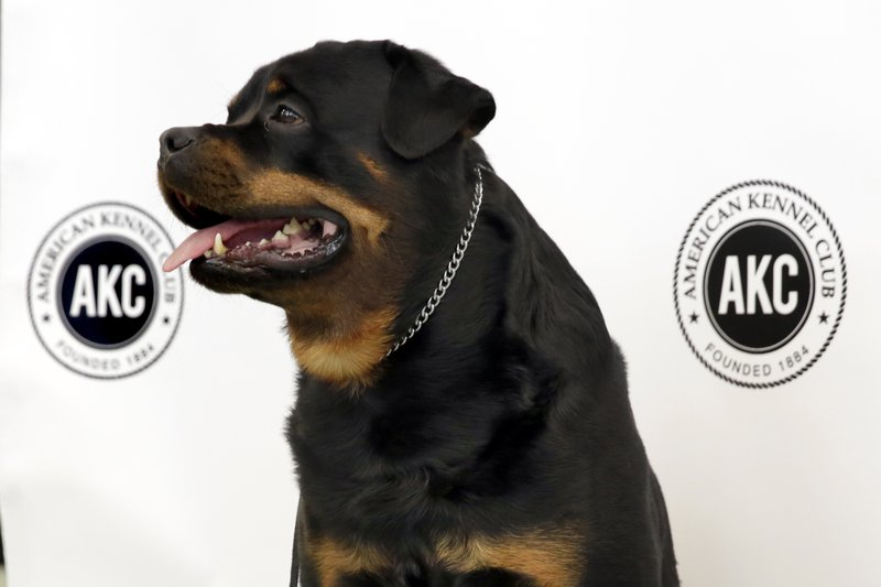 FILE - In this March 21, 2017 file photo, Talos, a Rottweiler, poses for photos as the American Kennel Club's breed rankings are announced in New York. (AP Photo/Richard Drew, File)