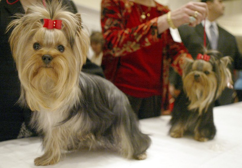 FILE - In this Feb. 8, 2004 file photo, Sky High Reflection, left, and her sister Sky Dreaming in Blue, get ready for competition in the 9-12 month puppy bitches category at the Yorkshire Terrier Club of America 2004 New York Specialty Show in New York. (AP Photo/Mary Altaffer, File)