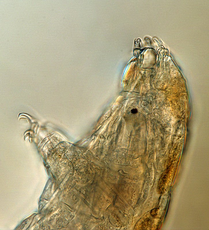 This undated microscope photo provided by Thomas Boothby in March 2019 shows a tardigrade, also known as a