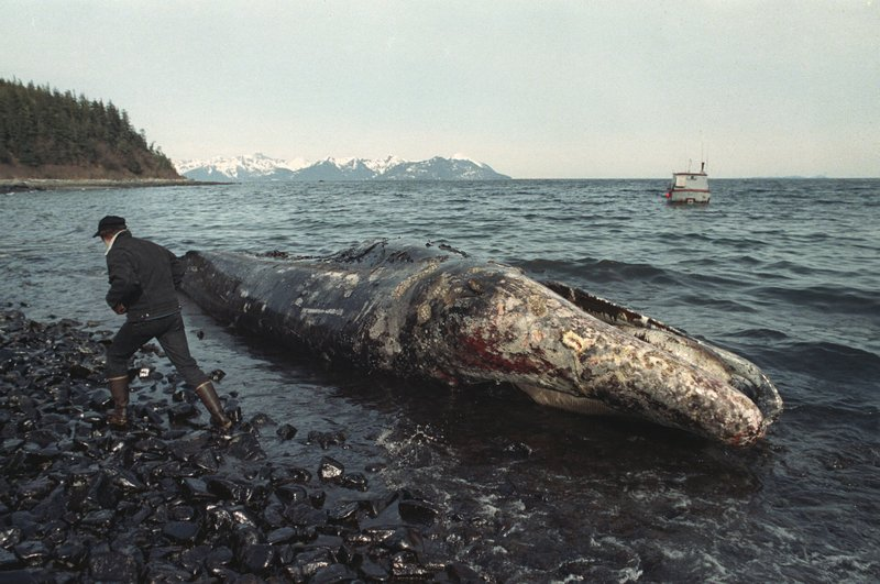 FILE - In this photo taken April 9, 1989, file photo, a local fisherman inspects a dead California gray whale on the northern shore of Latouche Island, Alaska. (AP Photo/John Gaps III, File)