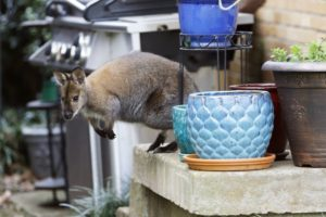 Escaped wallaby goes on walkabout in Dallas neighborhood