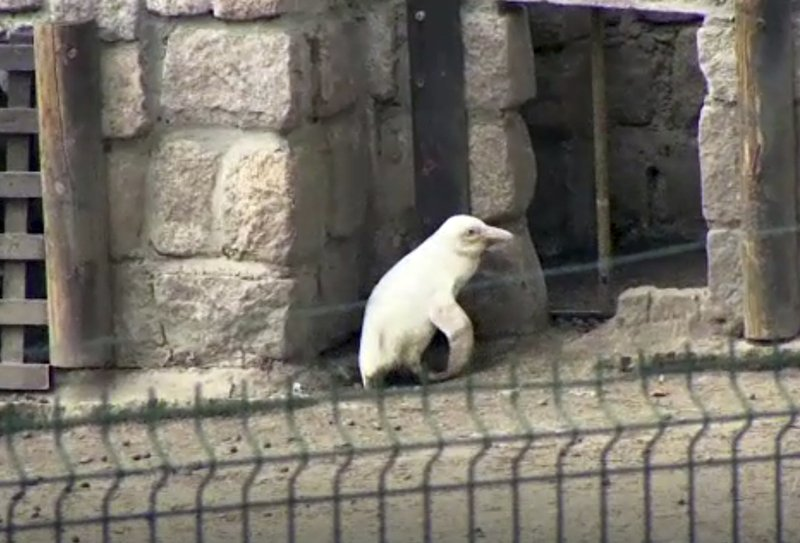 In this image made from video, an albino penguin is seen along in its enclosure in Gdansk zoo, Gdansk, Poland, Friday, March 22, 2019. (AP Photo)
