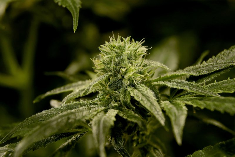 In this Friday, March 22, 2019 photo, a bud is seen on a marijuana plant at Compassionate Care Foundation's medical marijuana dispensary in Egg Harbor Township, N. (AP Photo/Julio Cortez)