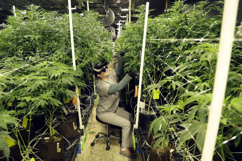 In this Friday, March 22, 2019 photo, Heather Randazzo, a grow employee at Compassionate Care Foundation's medical marijuana dispensary, trims leaves off marijuana plants in the company's grow house in Egg Harbor Township, N. (AP Photo/Julio Cortez)