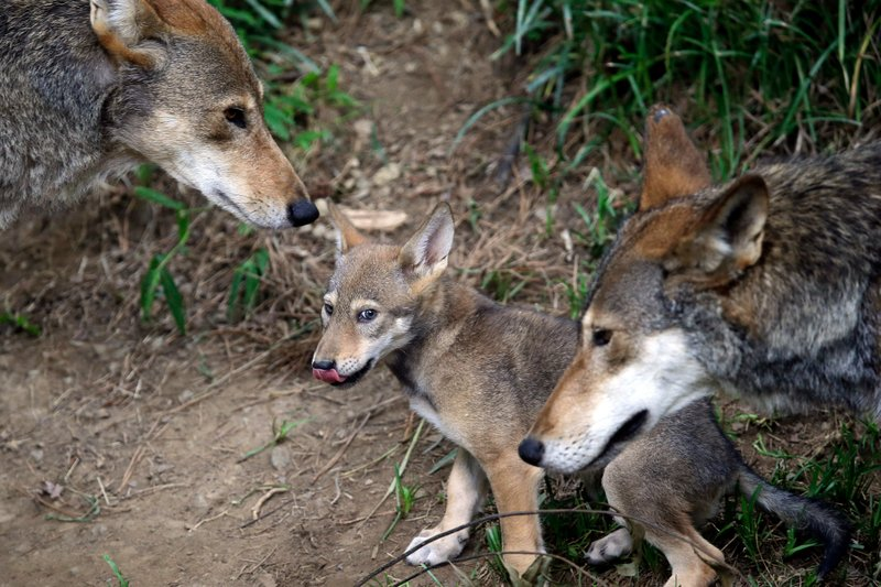 FILE - In this June 13, 2017, file photo, the parents of this 7-week old red wolf pup keep an eye on their offspring at the Museum of Life and Science in Durham, N. (AP Photo/Gerry Broome, File)