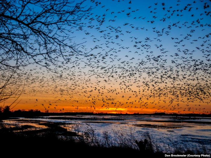 FILE - Sandhill cranes fill the skies at sunset, descending to their roost on