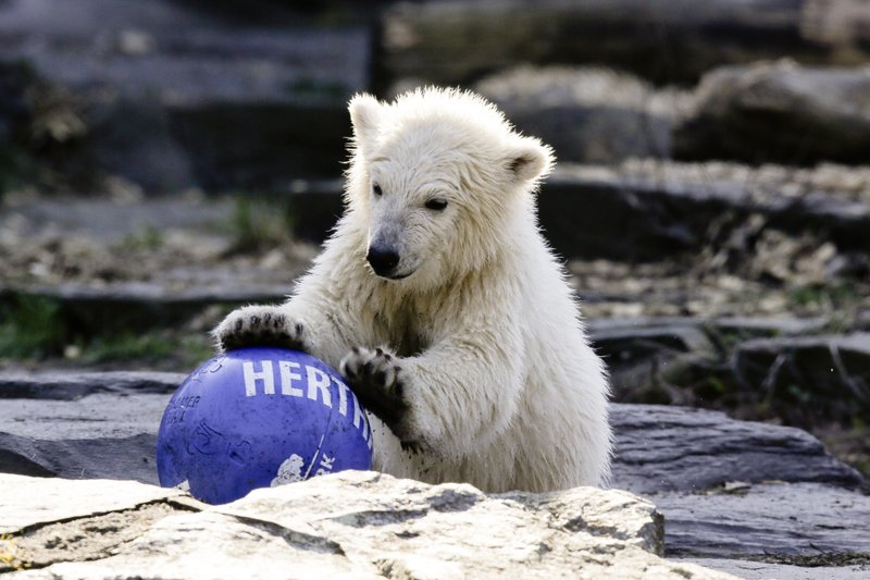 The polar bear cub Hertha plays with a ball of soccer club Hertha BSC, after the announcing of her name, at the Tierpark zoo in Berlin, Tuesday, April 2, 2019. (AP Photo/Markus Schreiber)