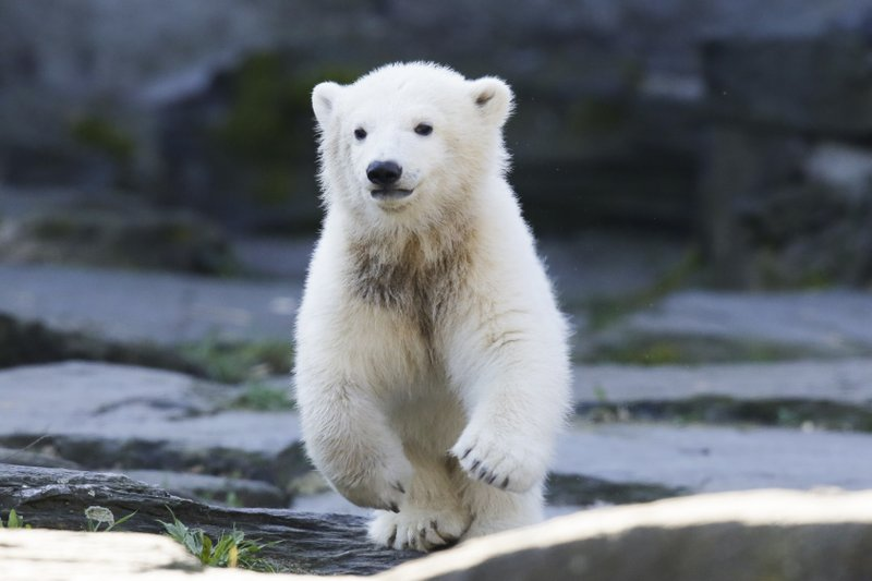 The polar bear cub Hertha runs in her enclosure, after the announcing of her name, at the Tierpark zoo in Berlin, Tuesday, April 2, 2019. (AP Photo/Markus Schreiber)