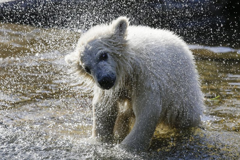 The polar bear cub Hertha shakes of water, after the announcing of her name, at the Tierpark zoo in Berlin, Tuesday, April 2, 2019. (AP Photo/Markus Schreiber)