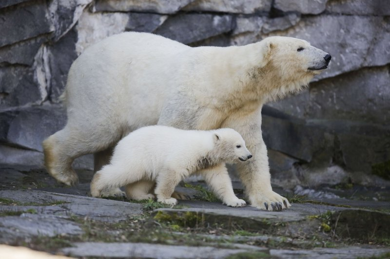 The polar bear Tonja and her cub Hertha walk in their enclosure, after the announcing of the cub's name, at the Tierpark zoo in Berlin, Tuesday, April 2, 2019. (AP Photo/Markus Schreiber)