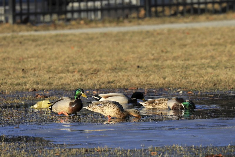 In this Wednesday April, 3, 2019 photo Mallards feed in a puddle of melted snow on the Delaney Park Strip ,in Anchorage. (AP Photo/Dan Joling)