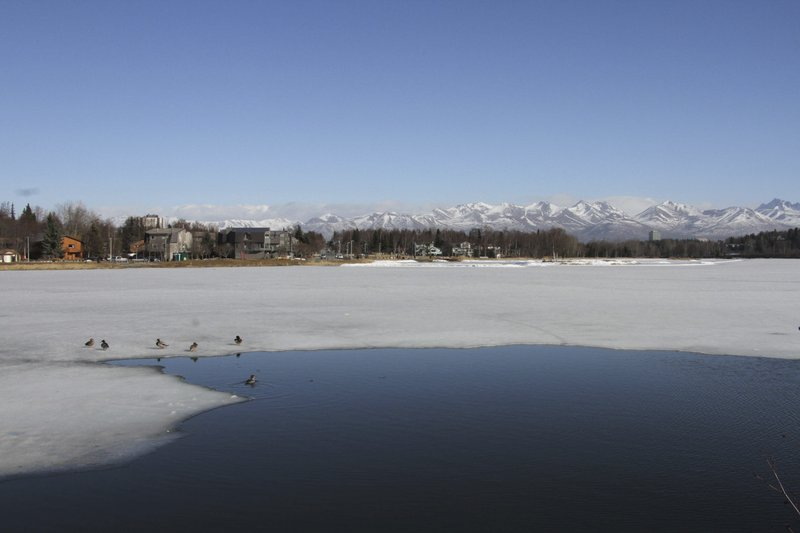 This April 3, 2019, photo shows ducks near open water at Westchester Lagoon in Anchorage, Alaska, with the snow-covered Chugach Mountains in the distance. (AP Photo/Mark Thiessen)
