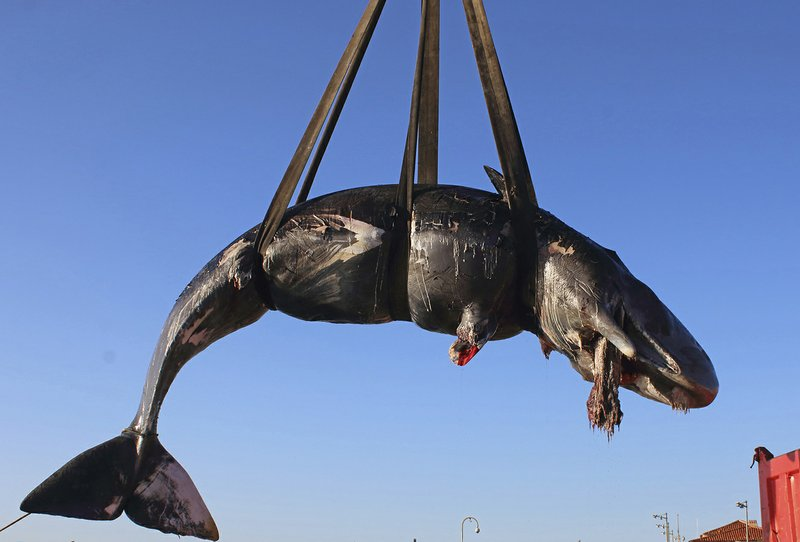 In this photo taken on Friday, March 29, 2019 and provided by SEAME Sardinia Onlus, a whale is lifted up onto a truck after being recovered off Sardinia island, Italy. (48.5 pounds) of plastic found in its belly. The environmental organization said Monday that the garbage recovered in the sperm whale's stomach included a corrugated tube for electrical works, plastic plates, shopping bags, tangled fishing lines and a washing detergent package with the brand and bar code still legible. The female whale beached off the northern coast of Sardinia last week. (SEAME Sardinia Onlus via AP)