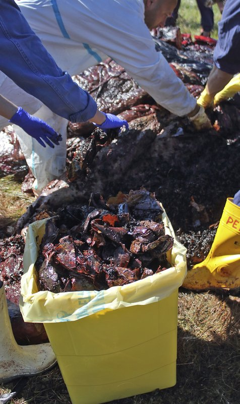 In this photo taken on Saturday March 30, 2019 provided by SEAME Sardinia Onlus, plastic is recovered from the belly of a whale, in Porto Cervo, Sardinia island, Italy. (48.5 pounds) of plastic found in its belly. The environmental organization said Monday that the garbage recovered in the sperm whale's stomach included a corrugated tube for electrical works, plastic plates, shopping bags, tangled fishing lines and a washing detergent package with the brand and bar code still legible. The female whale beached off the northern coast of Sardinia last week. (SEAME Sardinia Onlus via AP)