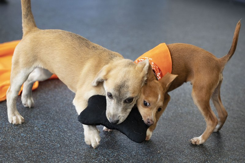 Puppies Apple, left, and Curry tussle with a chew toy as they romp at ASPCA headquarters in New York, Thursday, April 4, 2019. (AP Photo/Mark Lennihan)
