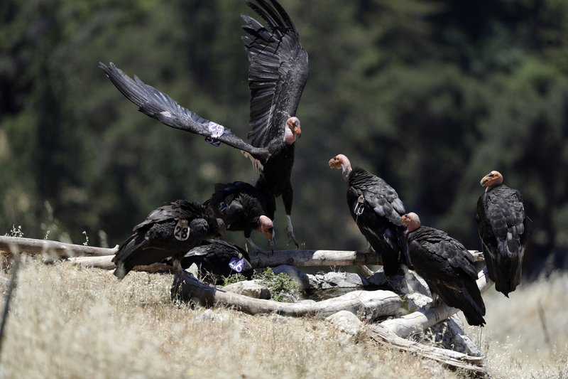 FILE - In this June 21, 2017 file photo, California condors huddle around a watering hole in the Ventana Wilderness east of Big Sur, Calif. (AP Photo/Marcio Jose Sanchez, File)