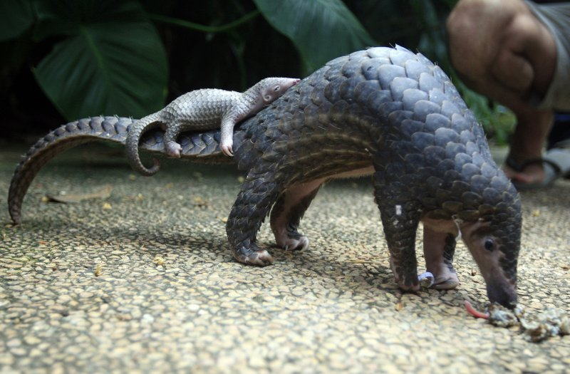 FILE - In this Thursday, June 19, 2014, file photo, a pangolin carries its baby at a Bali zoo in Bali, Indonesia. (AP Photo/Firdia Lisnawati, File)