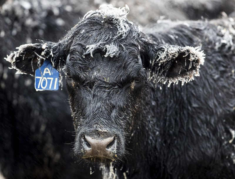 Ice forms on a calf at a ranch outside of Kilgore, Neb., Wednesday, April 10, 2019. A bomb cyclone storm bringing heavy snow and strong winds to several Rockies and Plains states is making travel difficult in many areas and impossible in others. (Chris Machian/Omaha World-Herald via AP)