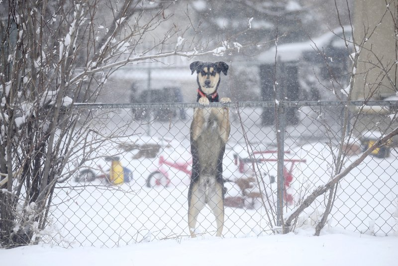A dog is seen peeking over a chain link fence along Parsley Boulevard during a blizzard warning hitting southeast Wyoming and the Colorado Front Range on Wednesday, April 10, 2019, in Cheyenne, Wyo. (Jacob Byk/The Wyoming Tribune Eagle via AP)