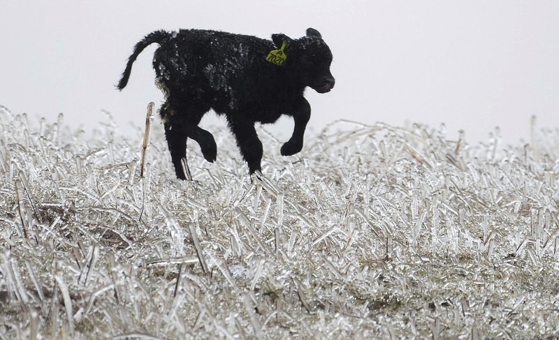 A calf runs through an ice field on a ranch outside of Kilgore, Neb., Wednesday, April 10, 2019. A bomb cyclone storm bringing heavy snow and strong winds to several Rockies and Plains states is making travel difficult in many areas and impossible in others. (Chris Machian/Omaha World-Herald via AP)